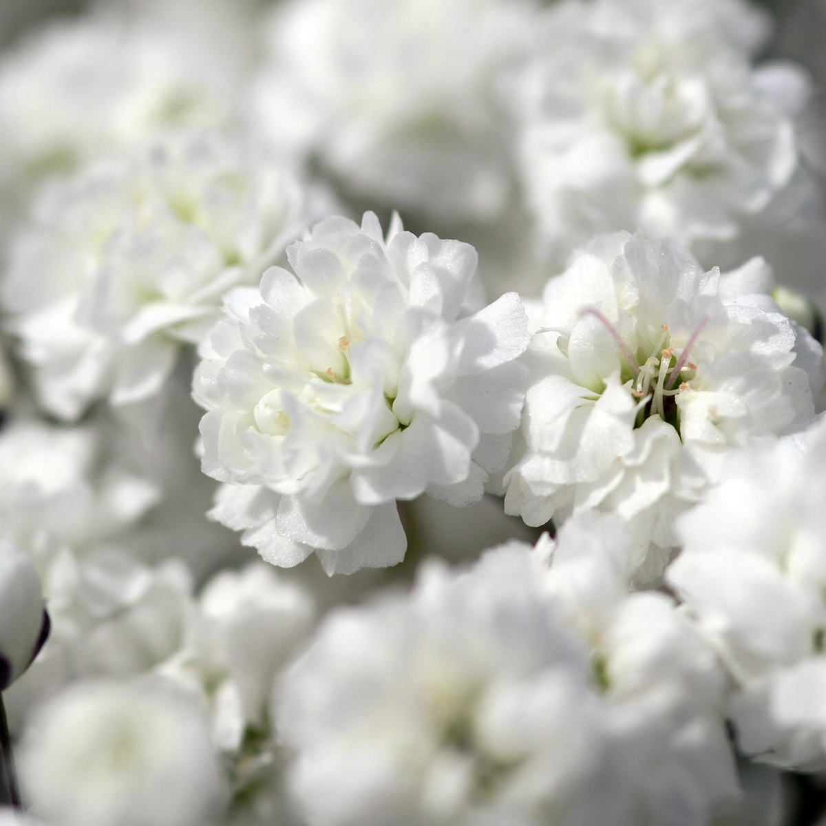 Xlence Gypsophila Babys Breath Wholesale Blooms By The Box