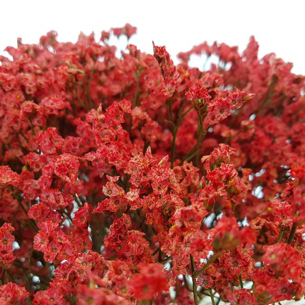 Limonium Dye Cherry Red